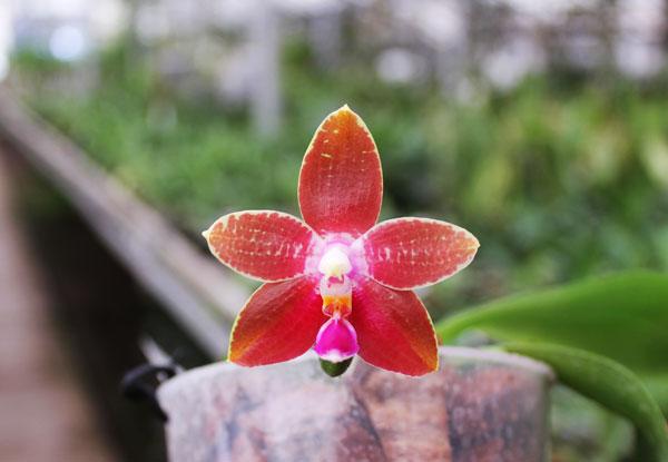 Phalaenopsis amboinensis 'TH' x Penang Girl 'Chin Ruey'