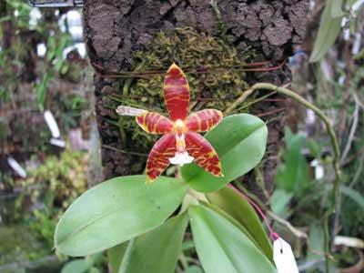 Phalaenopsis amboinensis x violacea