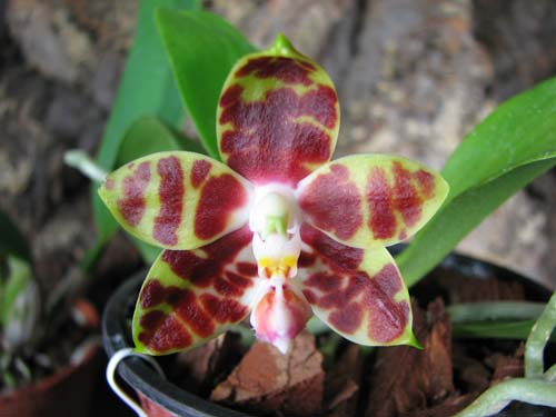 Phalaenopsis amboinensis 'Yung Ho' x Phalaenopsis venosa 'Dark Red'