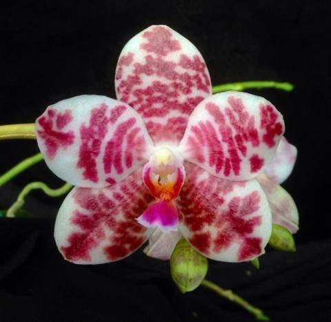 Phalaenopsis Auspice Knight 'Malayan'