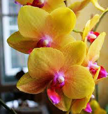 Phalaenopsis Baldan's Kaleidoscope 'Golden Treasure' x Yaphon Goldnight '#3'