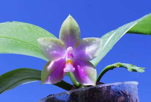 Phalaenopsis bellina '#20' x Joshua Irwin Ginsberg 'Su Weay'
