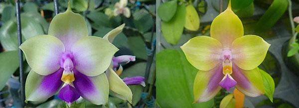 Phalaenopsis bellina 'blue' x Mituo Prince 'M#1'