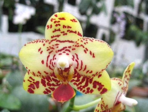 Phalaenopsis Brother 'Golden Wave' x Yaphon Goldlight '#3'