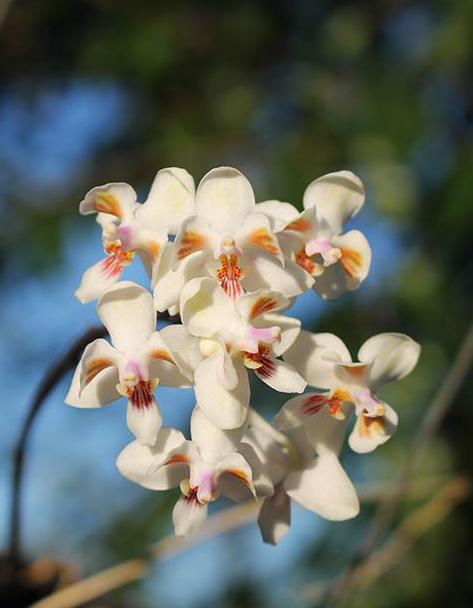 Phalaenopsis celebensis