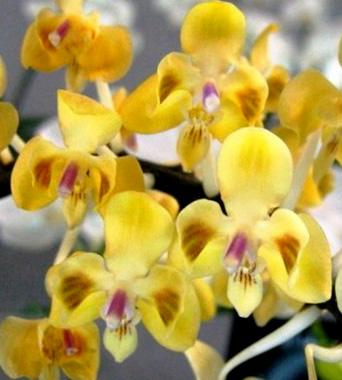 Phalaenopsis celebensis yellow