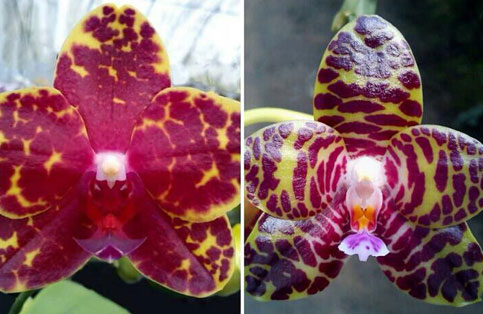 Phalaenopsis Chang Jo (Chang Jhih Rose x Jong's Gigan Cherry)