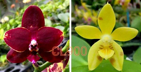 Phalaenopsis Chienlung Black Conch