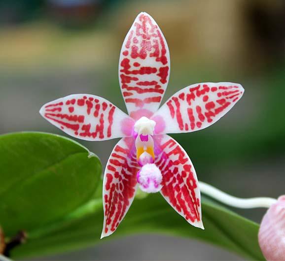 Phalaenopsis Chienlung Corningosa