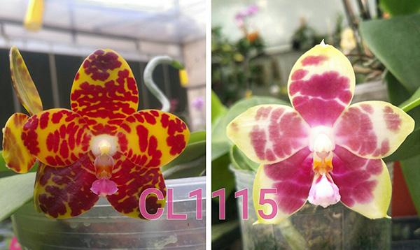 Phalaenopsis Chienlung Dream Bouquet