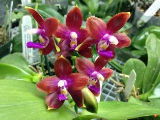 Phalaenopsis Chienlung Happy Girl CL Red x Black Eagle Tian