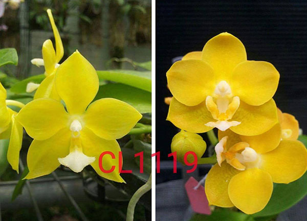 Phalaenopsis Chienlung Moonlight x Chienlung Cricket