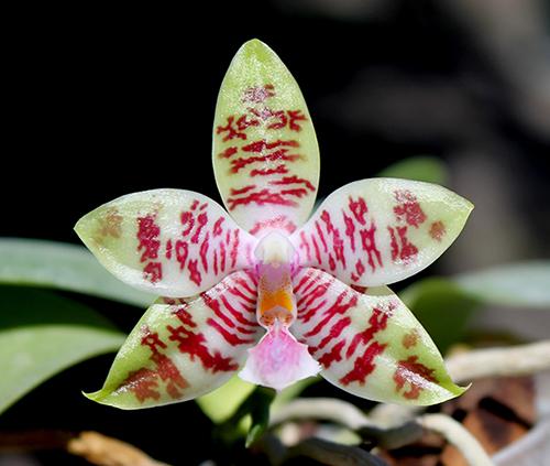 Phalaenopsis Chienlung Mosaics (Yaphon Sir x hieroglyphica)