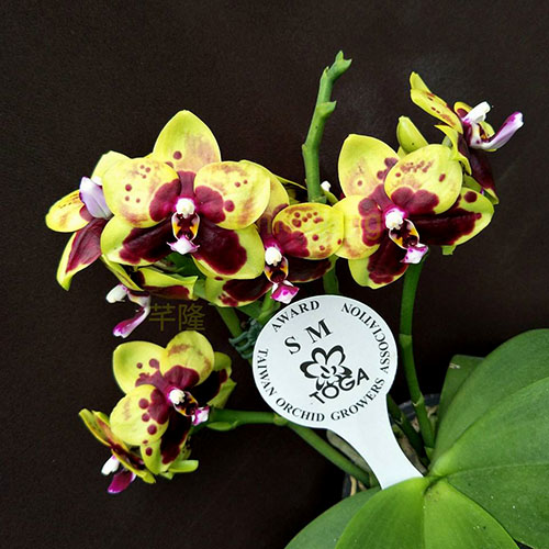 Phalaenopsis Chienlung Sweet Parrot