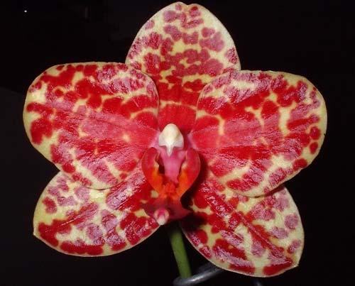 Phalaenopsis Dou-dii Rose