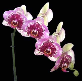 Phalaenopsis Elegant Dream Diamond