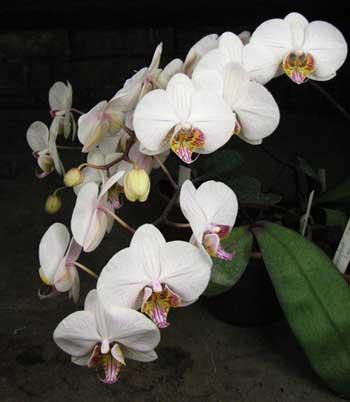 Phalaenopsis hybrid полосатый