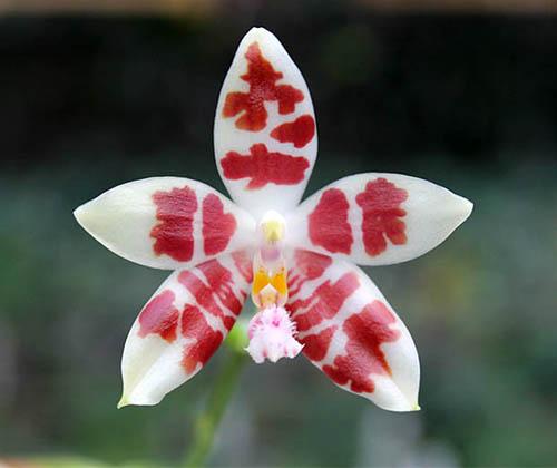Phalaenopsis Germain Vincent x Yaphon Sir