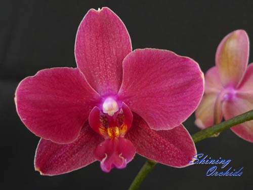 (Phalaenopsis Golden Sun x Phalaenopsis Brother Danseuse) x Doritis Chian Huey Rose