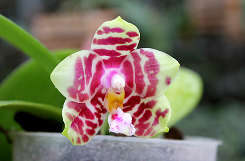 Phalaenopsis Hannover Passion 'Ching Ruey'  x Jong's Red Cherry '#2'