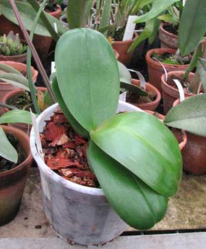 Phalaenopsis hybrid миниатюрный белый