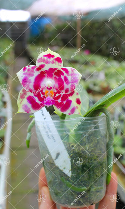 Phalaenopsis KS Super Zebra 'Yuan Shen'