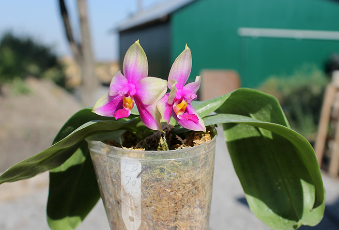 Phalaenopsis LD Purple Bear x bellina
