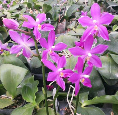 Phalaenopsis Ld's Bear King x violacea indigo