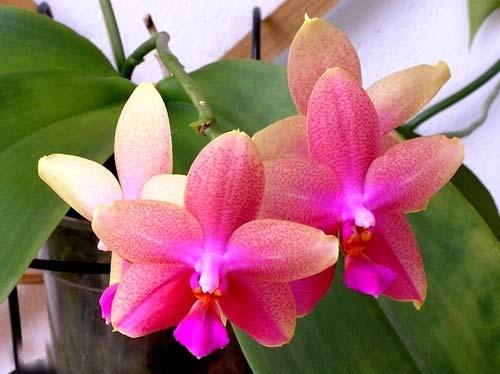Phalaenopsis Liodoro (Phalaenopsis Deventeriana x Phalaenopsis violacea)