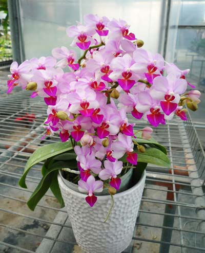 http://static.orchids.in.ua/img/phalaenopsis-lius-berry-orch-house-foto-3388.jpg