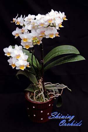 Phalaenopsis Lius Fantasy