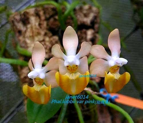 Phalaenopsis lobbii 'Pink'