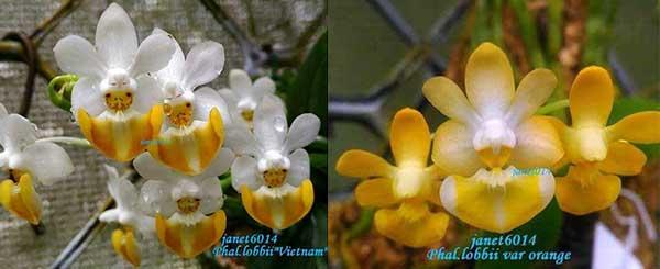 Phalaenopsis lobbii 'Vietnam' x lobbii var orange