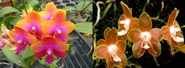 Phalaenopsis Mituo Cake 'M#1' x venosa 'TGDT'
