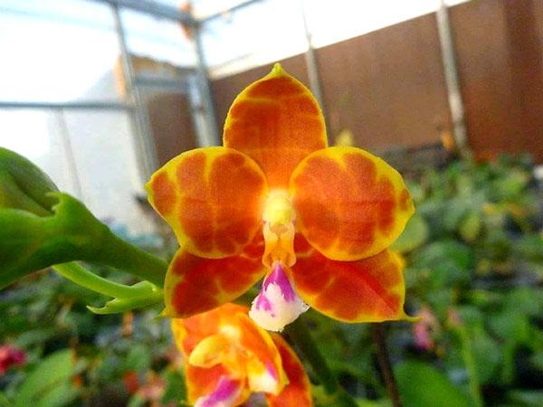 Phalaenopsis Mituo Coral Mambonosa