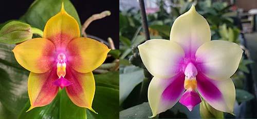 Phalaenopsis Mituo Prince x bellina