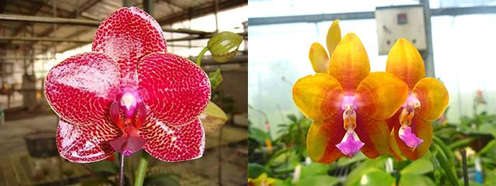 Phalaenopsis Mituo Sun 'Mituo #1' x Ld's Bear King 'YK-14'