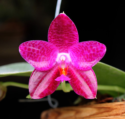 Phalaenopsis Mok Choi Yew (gigantea x violacea)