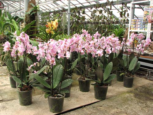 Phalaenopsis Philadelphia (schilleriana x stuartiana)
