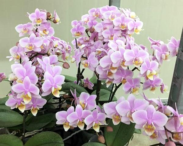 Phalaenopsis Pinlong Cherry (schilleriana x Cassandra)