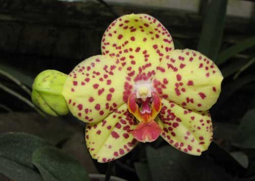 Phalaenopsis Salu Peoker 'O-2'