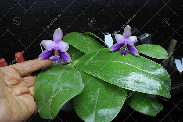 Phalaenopsis Samera 'Blue' (Phal. bellina coerulea 'Orchidview' AM/AOS x Phal. violacea 'Indigo blue')