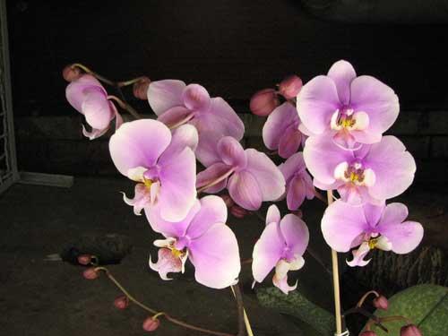 Phalaenopsis schilleriana 'Wan Dan' x Doritaenopsis Hsinying Maki 'Shot Gun'