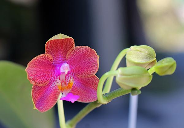 Phalaenopsis (stuartiana x celebensis) x Ld's Bear Queen