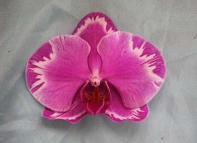 Phalaenopsis Tai-Kan Rose