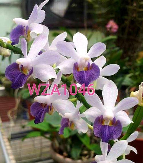 Phalaenopsis Tying Shin Blue Jay x Bacchus