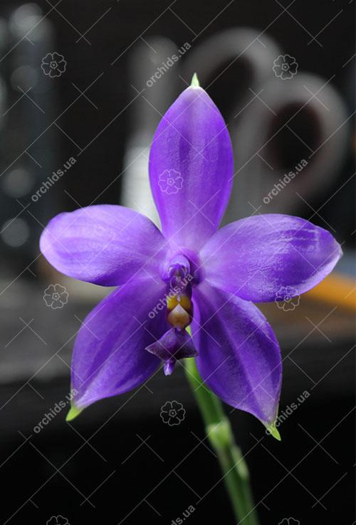 Phalaenopsis violacea indigo x (violacea x Su-An Super Star)
