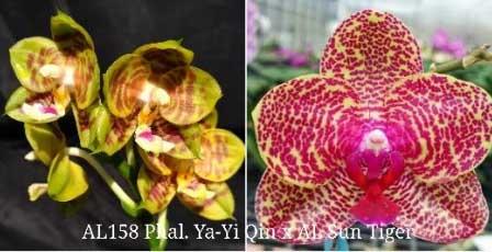 Phalaenopsis Ya-YI Qin x AL Sun Tiger