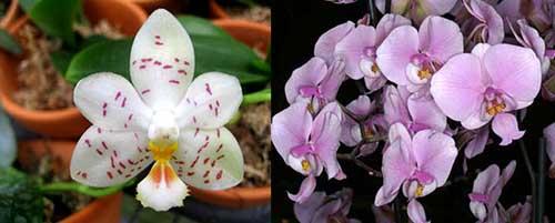 Phalaenopsis Yaphon Lobispis x schilleriana
