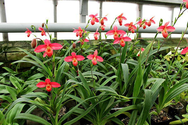 Phragmipedium Andean Fire (besseae x lidleyanum)